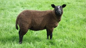 Zwart schaap