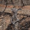 Verbrande kangaroo