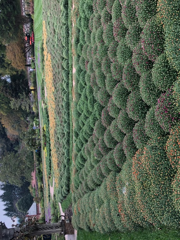 A huge display of fall mum was just planted and will be blooming in the next couple of weeks.
