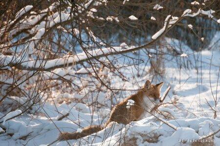 Lis. zwyczajny rudy lis