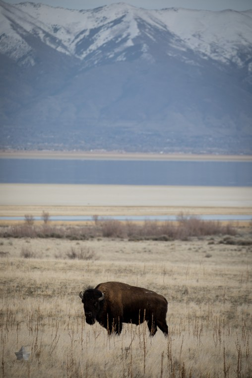 The great American Bison.