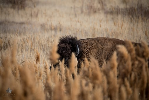 A big bull keeping on an eye on us in the bullrushes on the edge of The Great Salt Lake.
