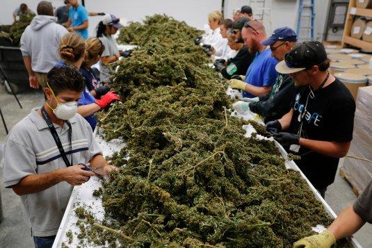 Italy: Home grown Marijuana legal