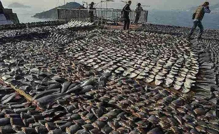 Customs seizes 38,500 endangered shark fins