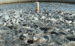 catfish farming in nigeria2
