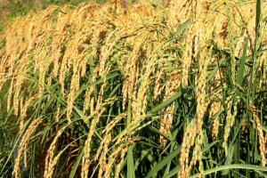 rice farming in nigeria