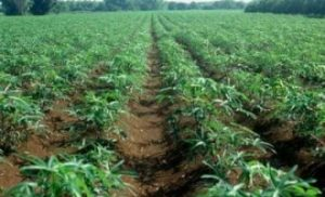 Importance of Agriculture in Nigeria