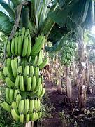 Banana Farming in Nigeria: Step by Step Guide