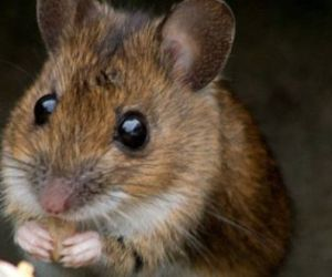 The Economic Ill-Effects of Rodent Infestation