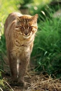 Golden Cat Leopard