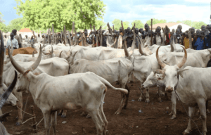 price of cow in nigeria
