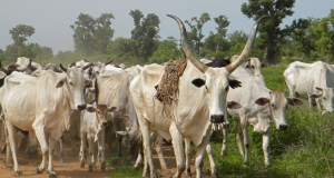 FG to build cattle ranches