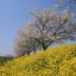 印旛沼の桜<千葉県>