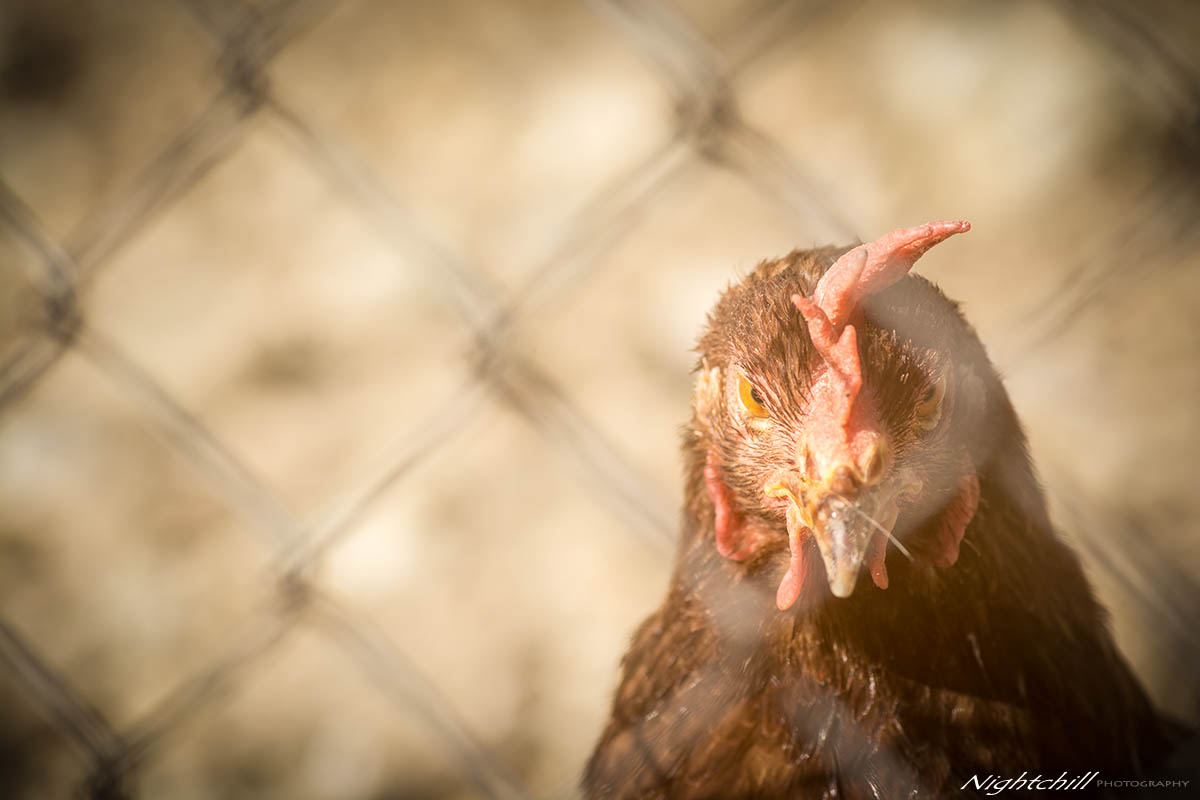 018 - Фотография на животни - Кокошка