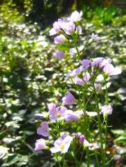Lady's smock, Cardamine pratensis, is a wildflower I would like to have more of among the grass.