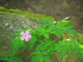 Herb Robert, a wild geranium.