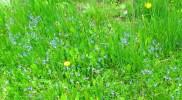 Bird's eye veronica or germander speedwell colours the grass a pale blue.