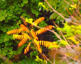 Ailanthus, also known as Tree of Heaven