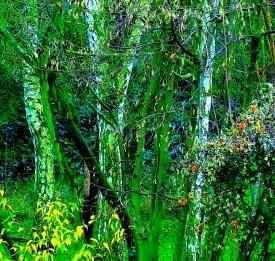 Birches on a grey day