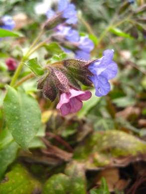 Pulmonaria: curiously the flowers start out a ruddy pink then change to sky blue!