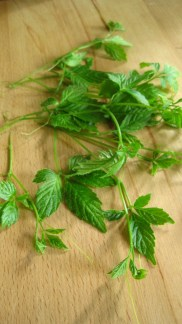 Jiaogulan, Gynostemma pentaphyllum -- also called the herb of immortality