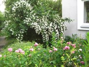 Roses in foreground, Philadelphus in the back.