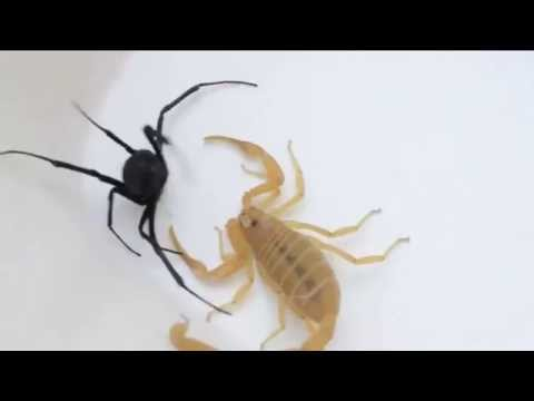 scorpion vs black widow