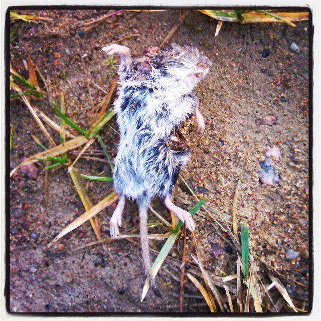 Танцующая Маленькая Мёртвая Мышь (ТМММ)