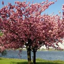 Weltraum-Kirschbaum verblüfft Botaniker