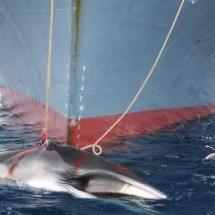 Japan setzt Walfang im Nordpazifik fort