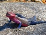 Vibrant Lizard (2)