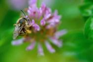 Mitsu bachi, aka the honeybee.