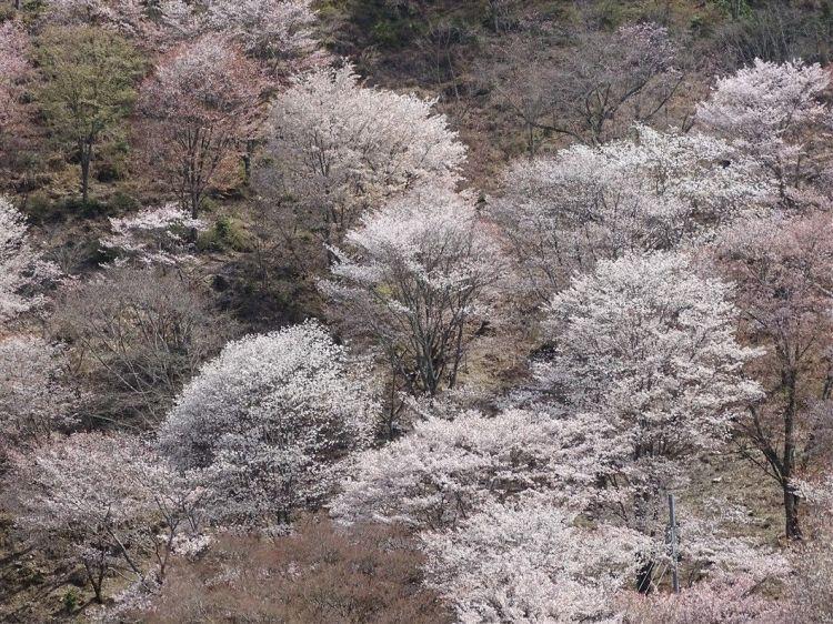 Des cerisiers en fleurs