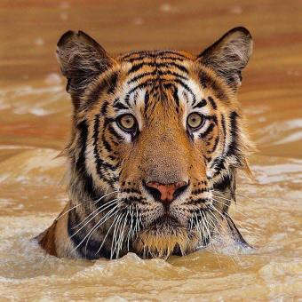 Bengal Tiger of Sundarbans