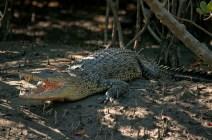 Salt water crocodile at Sundarbans. Photo: Shourov Ghosh