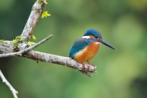 A common kingfisher in Sundarbans. Photo: Christian Goers