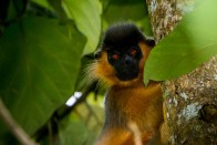 Male Capped Langur at Lawachara © Photo: Scott Trageser
