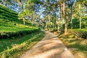 Endless tea plantations of Srimangal
