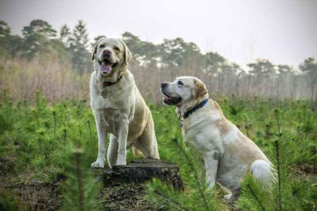 labrador-breed-dogs-animal