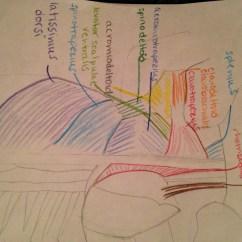 Cat Dissection Muscle Diagram Back Dodge Dakota Suspension Parts Nikki 39s Journal Anatomy For Ms Mckinney