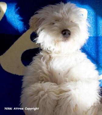 Teddy Bear Dog