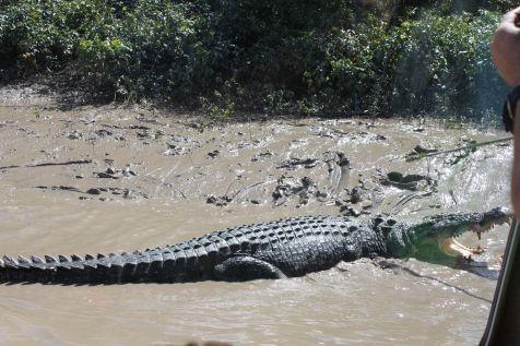 Agro - the 5.5m (18 ft) croc