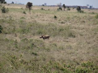 Finally a rhino in the wild!