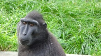 Sulawesi Black Headed Macaque