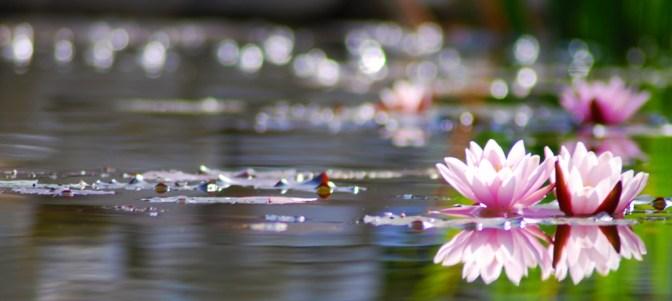 Water Lily Bokeh