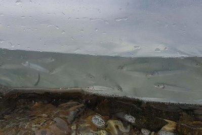 Мальки омуля. Фото с сайта Байкальского филиала ФГБУ Главрыбвод