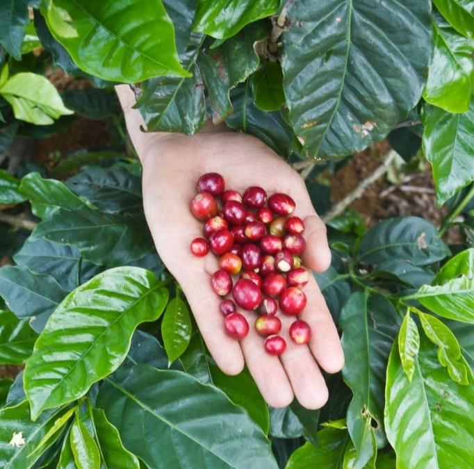 Holding ripe coffee cherries, Las Vegas, Santa Bárbara, Honduras.