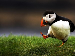 atlantic-puffin-bird-hd-wallpapers-cool-desktop-widescree-photos