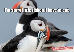 puffin-eating