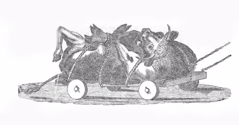 פרה קשורה על גבה לעגלה